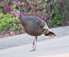 turkeys (3)