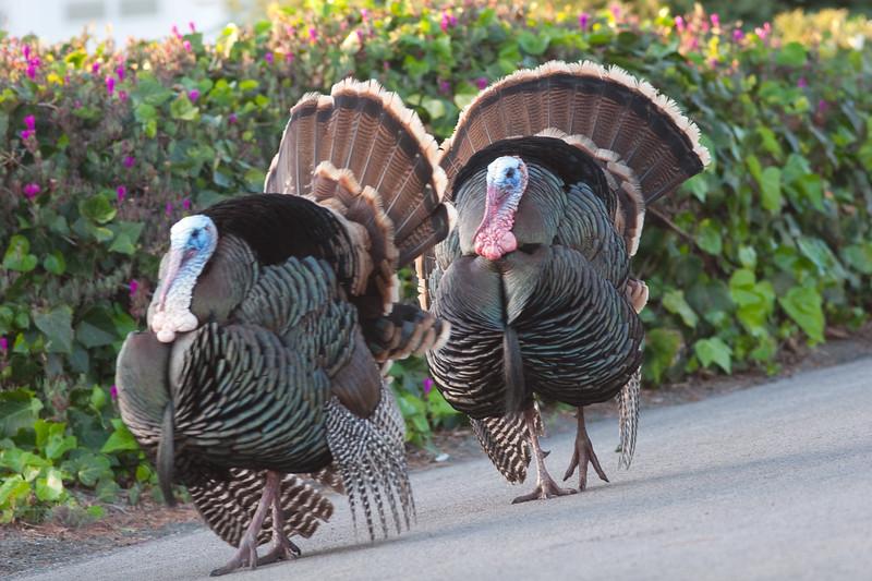 turkeys (2)