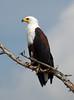 AfricanFishEagle Kruger_14-03-02__O6B0552