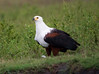 AfricanFishEagle Chobe_14-03-08__O6B1468