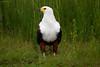 AfricanFishEagle Chobe_14-03-08__O6B1475