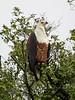 AfricanFishEagle Chobe_14-03-08__O6B1165