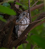 AfricanScopsOwl Kruger_14-03-02__O6B0315