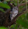 AfricanScopsOwl Kruger_14-03-02__O6B0316