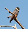 Bat Falcon (7)