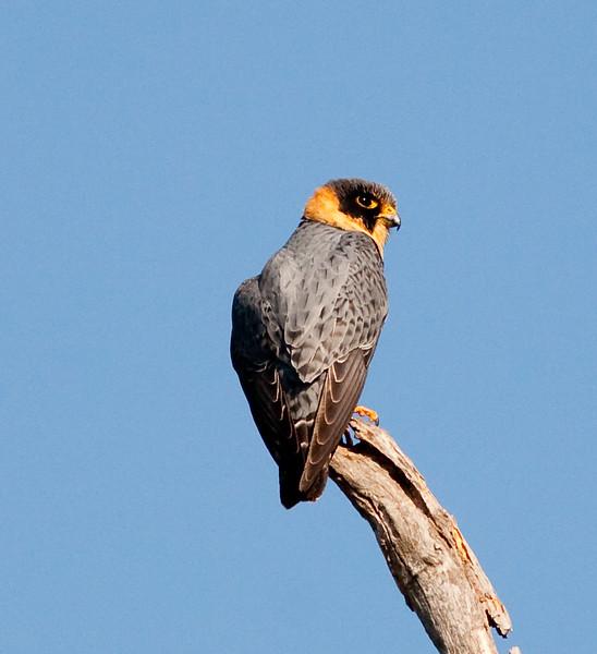 Bat Falcon (8)