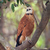 BlkCollarHawk Pantanal_7I2B8741_10-09-24