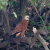 BlkCollarHawk Pantanal_7I2B8733_10-09-24