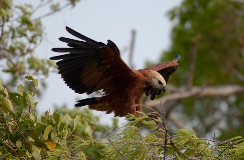 BlkColHawk Pantanal_7I2B9882_10-09-27