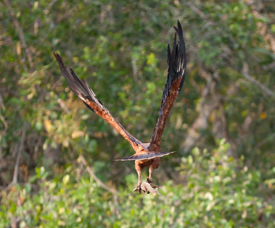 BlkColHawk Pantanal_IMG_2055_10-09-28