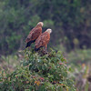 BlkCollarHawk Pantanal_7I2B8554_10-09-23