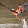 BlkColHawk Pantanal_IMG_2050_10-09-28
