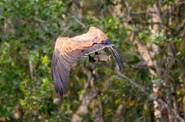 BlkColHawk Pantanal_IMG_2057_10-09-28