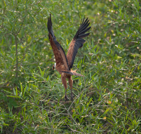 BlkColHawk Pantanal_7I2B9771_10-09-27
