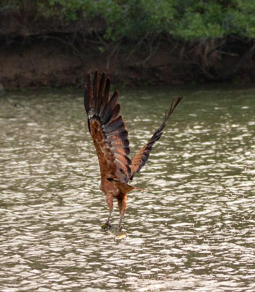 BlkColHawk Pantanal_IMG_2005_10-09-27
