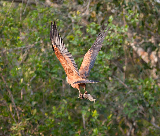 BlkColHawk Pantanal_IMG_2058_10-09-28