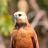 BlkColHawk Pantanal_7I2B9439_10-09-26
