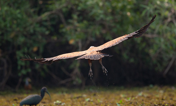 BlkColHawk Pantanal_7I2B9770_10-09-27