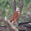 BlkCollarHawk Pantanal_7I2B8737_10-09-24