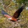 BlkColHawk Pantanal_IMG_2043_10-09-28