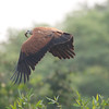 BlkColHawk Pantanal_7I2B9773_10-09-27
