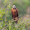 BlkColHawk Pantanal_7I2B0052_10-09-27