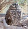 BurrowingOwl Tucson_10-10-23_7I2B0377