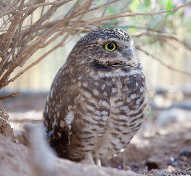 BurrowingOwl Tucson_10-10-23_7I2B0375