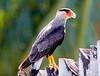 Crested caracara (29)_110_08-06-05