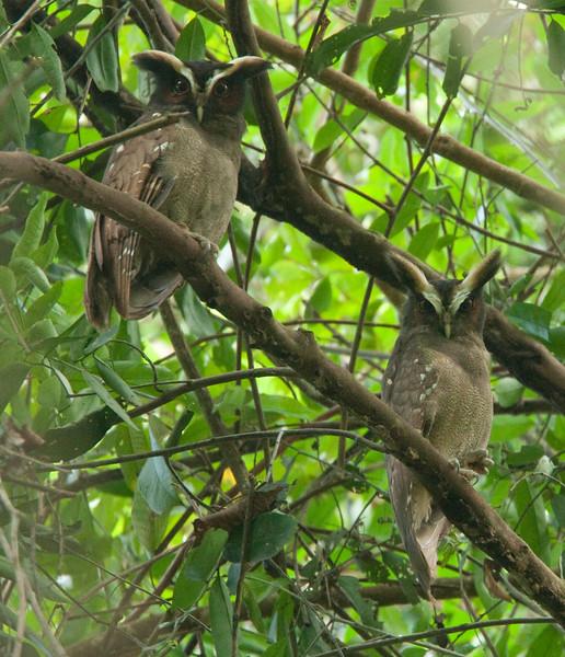 CrestedOwl HaBaru_09-10-20_0008