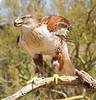 FerruginousHwk Tucson__MG_9972_2012-03-28-21-22-01