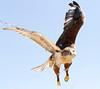 Ferrruginous Tucson__MG_1780_2012-03-29-21-24-33b