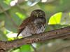 Owl, ferruginous pygmy (2)_CostaRica-05_07-07-05