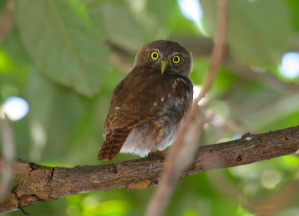 Owl, ferruginous pygmy (9)_CostaRica-05_07-07-05
