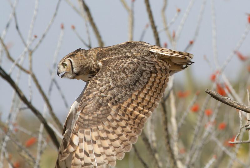 GrtHrnOwl Tucson__MG_1728_2012-03-29-21-12-50