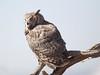 GrtHrnOwl Tucson__O6B1801_2012-03-29-21-13-35
