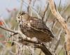GrtHrnOwl Tucson__MG_1727_2012-03-29-21-12-43