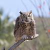 GrtHrnOwl Tucson__MG_1715_2012-03-29-21-11-19