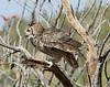 GrtHrnOwl Tucson__MG_1725_2012-03-29-21-12-38