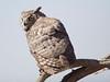 GrtHrnOwl Tucson__O6B1798_2012-03-29-21-13-31