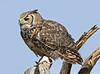 GrtHrnOwl Tucson__MG_1724_2012-03-29-21-12-02