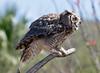 GrtHrnOwl Tucson__MG_1714_2012-03-29-21-11-18