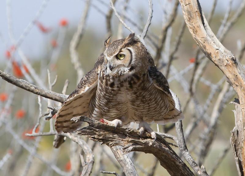 GrtHrnOwl Tucson__MG_1726_2012-03-29-21-12-41