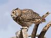 GrtHrnOwl Tucson__MG_1720_2012-03-29-21-11-51