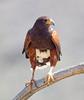 HarrisHawk Tucson__O6B1700_2012-03-29-01-13-51