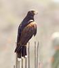 HarrisHawk Tucson__O6B1633_2012-03-29-01-06-21
