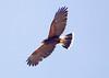 HarrisHawk Tucson__O6B1601_2012-03-29-01-03-48