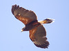 HarrisHawk Tucson__O6B1673_2012-03-29-01-11-56