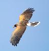 HarrisHawk Tucson__O6B1676_2012-03-29-01-11-57