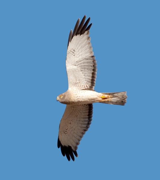 Northern Harrier (2)